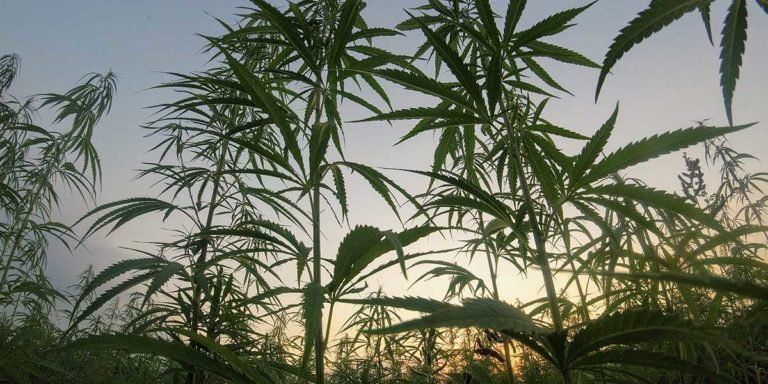 Preparing for Cannabis Licensing Opportunities